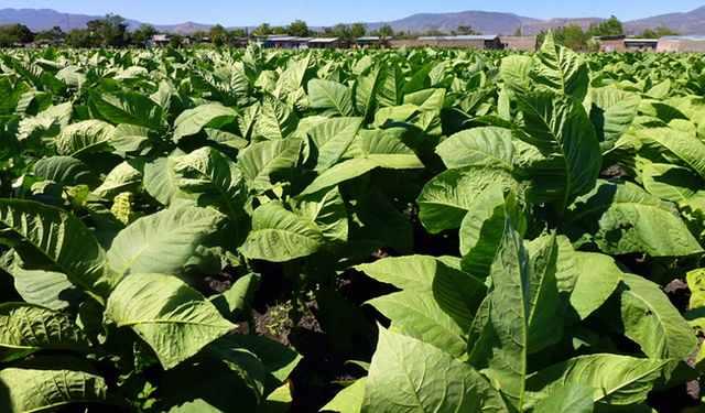 Cateva informatii scurte despre culturile de tutun